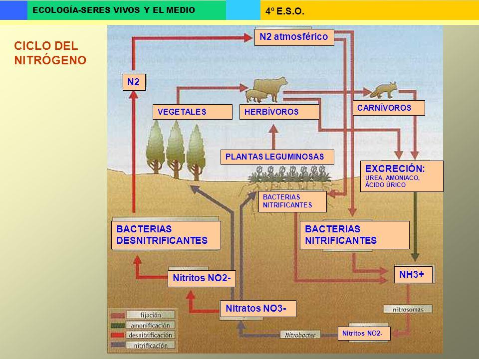 4º E.S.O. ECOLOGÍA-SERES VIVOS Y EL MEDIO CICLO DEL NITRÓGENO N2 atmosférico N2 BACTERIAS DESNITRIFICANTES Nitratos NO3- Nitritos NO2- VEGETALESHERBÍV