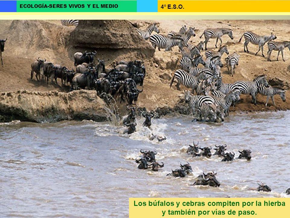 4º E.S.O. ECOLOGÍA-SERES VIVOS Y EL MEDIO Los búfalos y cebras compiten por la hierba y también por vías de paso.
