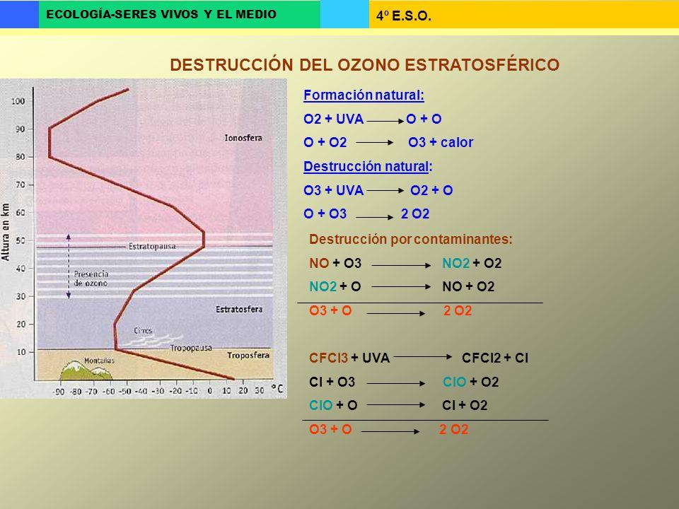 4º E.S.O. ECOLOGÍA-SERES VIVOS Y EL MEDIO DESTRUCCIÓN DEL OZONO ESTRATOSFÉRICO Formación natural: O2 + UVA O + O O + O2 O3 + calor Destrucción natural