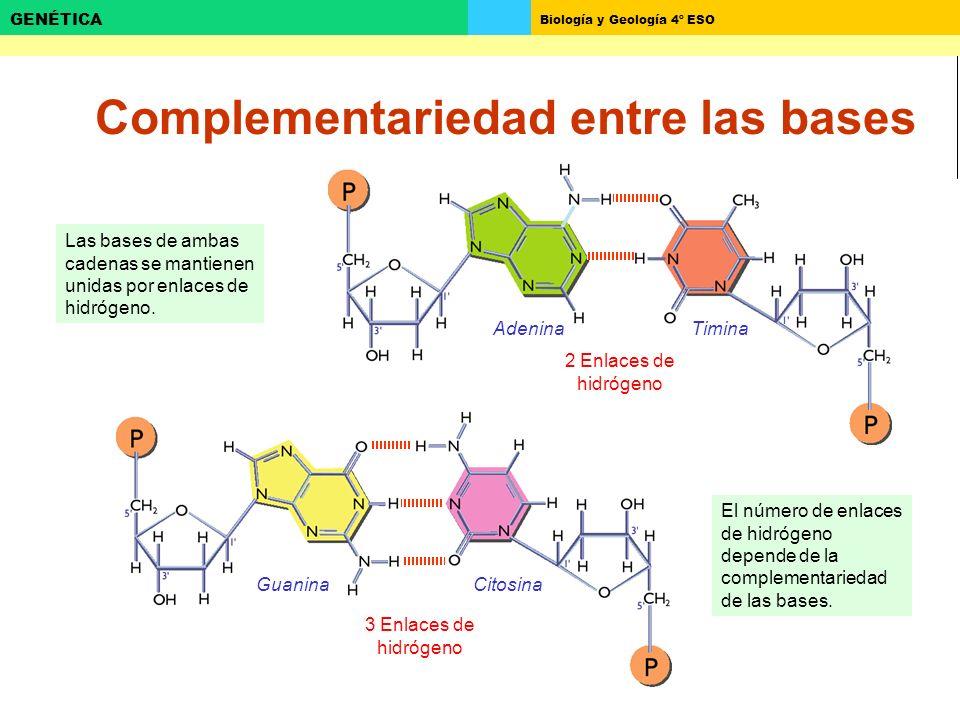 Biología y Geología 4º ESO GENÉTICA Complementariedad entre las bases Las bases de ambas cadenas se mantienen unidas por enlaces de hidrógeno. Adenina