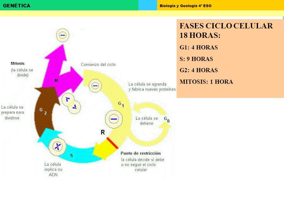 Biología y Geología 4º ESO GENÉTICA FASES CICLO CELULAR 18 HORAS: G1: 4 HORAS S: 9 HORAS G2: 4 HORAS MITOSIS: 1 HORA
