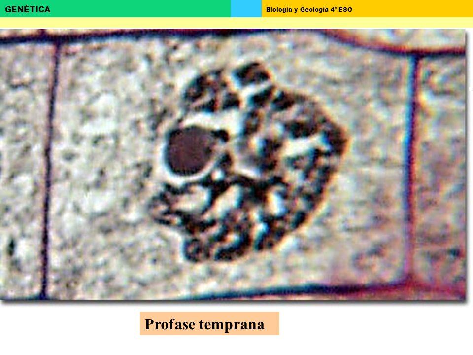 Biología y Geología 4º ESO GENÉTICA Profase temprana
