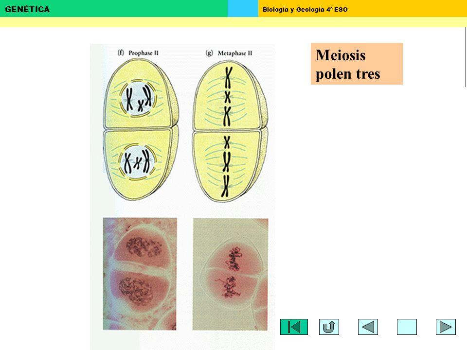Biología y Geología 4º ESO GENÉTICA Meiosis polen tres