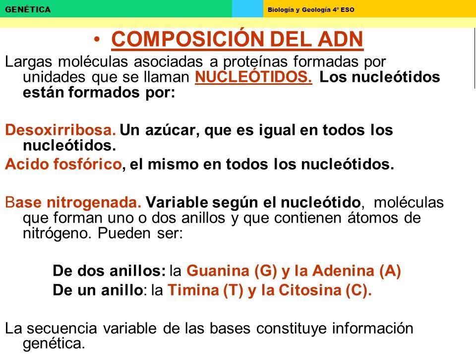 Biología y Geología 4º ESO GENÉTICA COMPOSICIÓN DEL ADN Largas moléculas asociadas a proteínas formadas por unidades que se llaman NUCLEÓTIDOS. Los nu