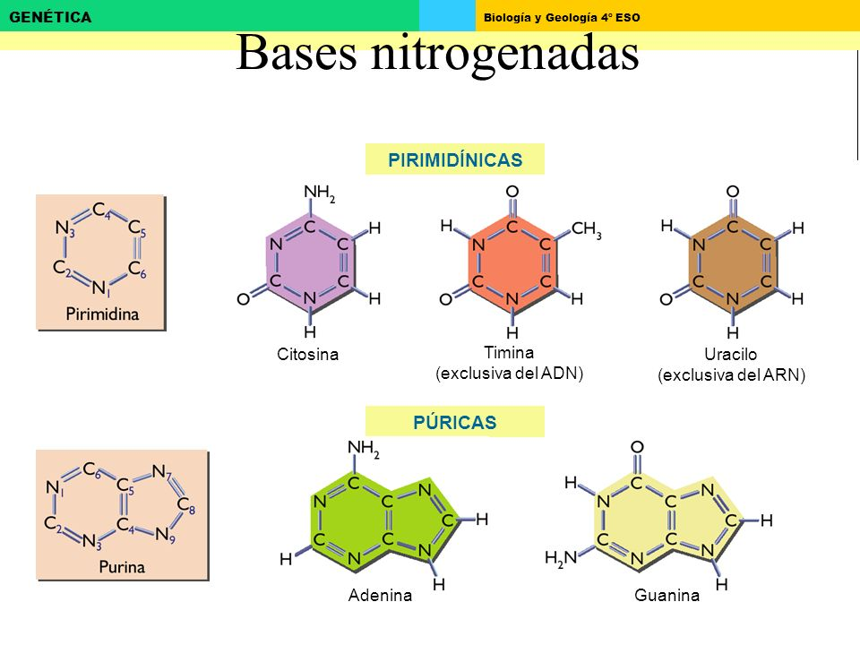 Biología y Geología 4º ESO GENÉTICA Bases nitrogenadas PIRIMIDÍNICAS PÚRICAS Citosina Timina (exclusiva del ADN) Uracilo (exclusiva del ARN) AdeninaGu