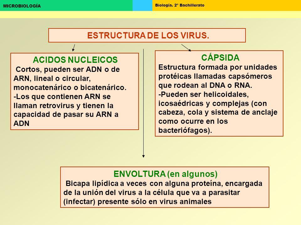 Biología. 2º Bachillerato MICROBIOLOGÍA ESTRUCTURA DE LOS VIRUS. ACIDOS NUCLEICOS Cortos, pueden ser ADN o de ARN, lineal o circular, monocatenárico o