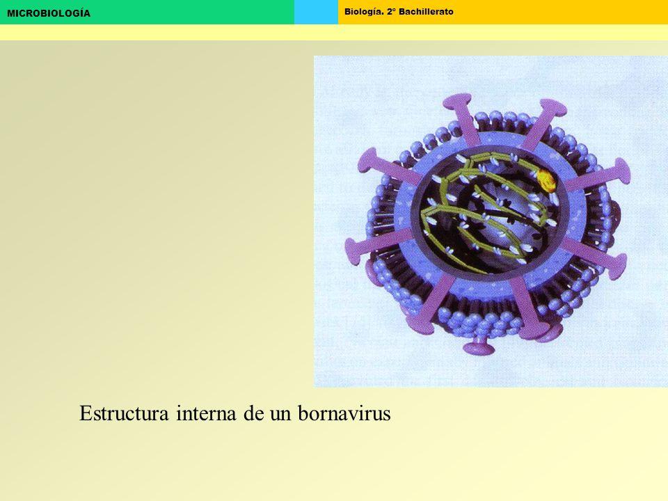 Biología. 2º Bachillerato MICROBIOLOGÍA Estructura interna de un bornavirus