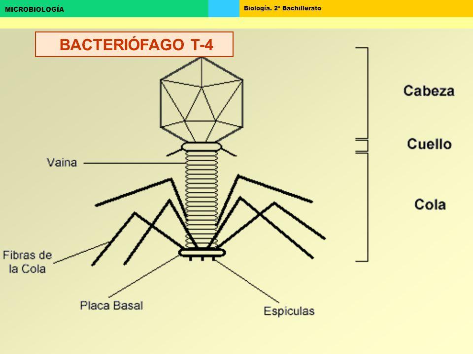 Biología. 2º Bachillerato MICROBIOLOGÍA BACTERIÓFAGO T-4