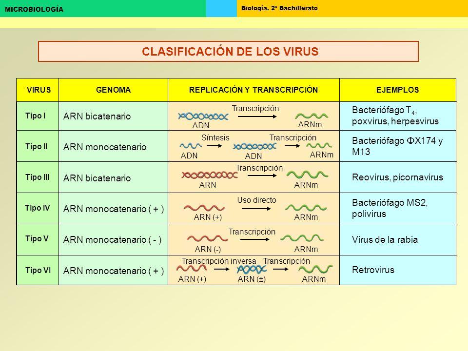 Biología. 2º Bachillerato MICROBIOLOGÍA Tipo I Tipo VI ARN monocatenario ( + ) ARN bicatenario VIRUS GENOMAREPLICACIÓN Y TRANSCRIPCIÓNEJEMPLOS Retrovi
