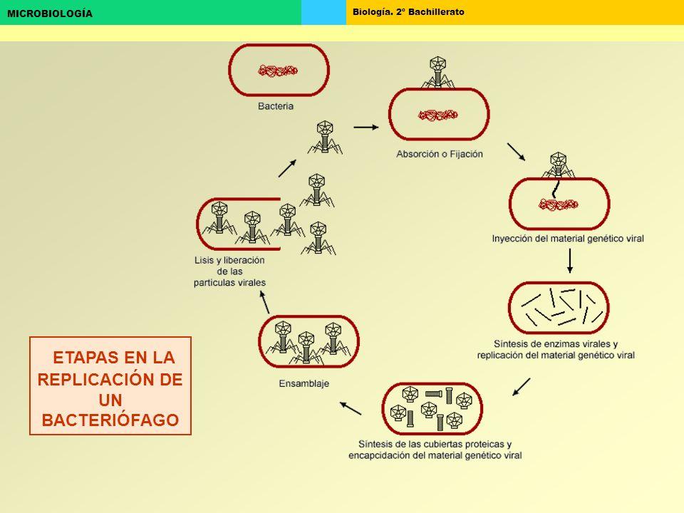 Biología. 2º Bachillerato MICROBIOLOGÍA ETAPAS EN LA REPLICACIÓN DE UN BACTERIÓFAGO