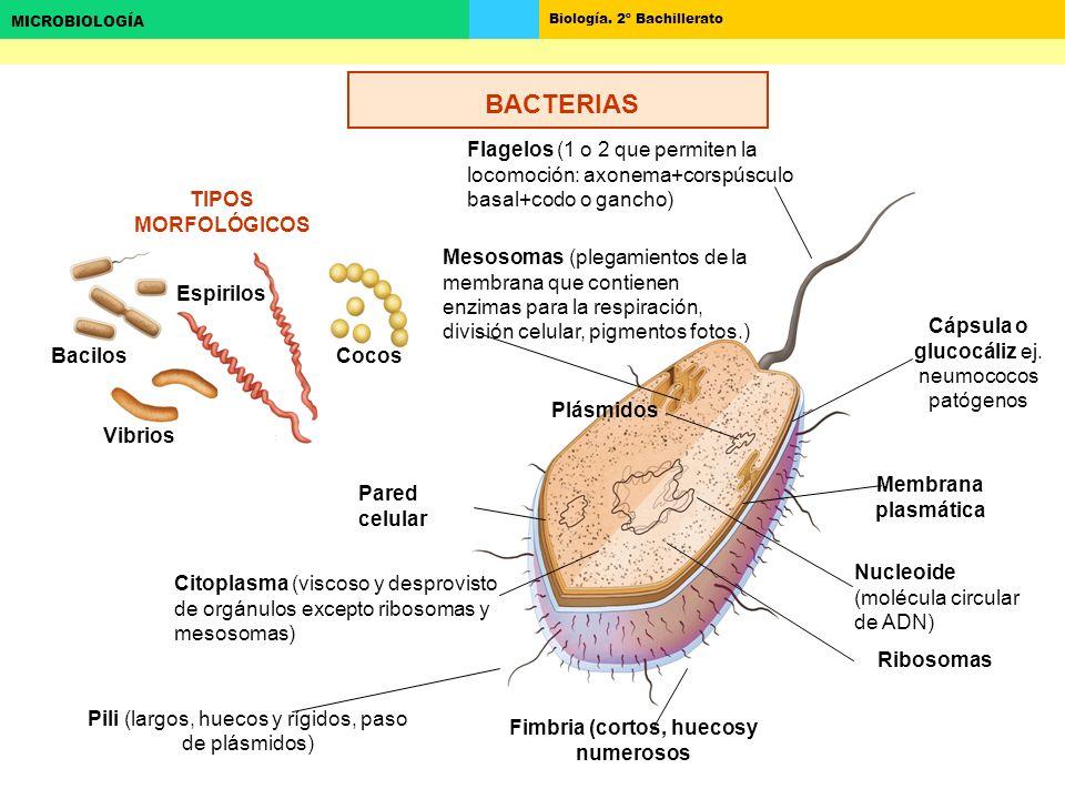 Biología. 2º Bachillerato MICROBIOLOGÍA TIPOS MORFOLÓGICOS Cocos Bacilos Espirilos Vibrios Flagelos (1 o 2 que permiten la locomoción: axonema+corspús