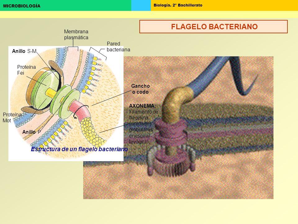 Biología. 2º Bachillerato MICROBIOLOGÍA Estructura de un flagelo bacteriano Membrana plasmática Pared bacteriana Proteína Mot Anillo P Proteína Fei An