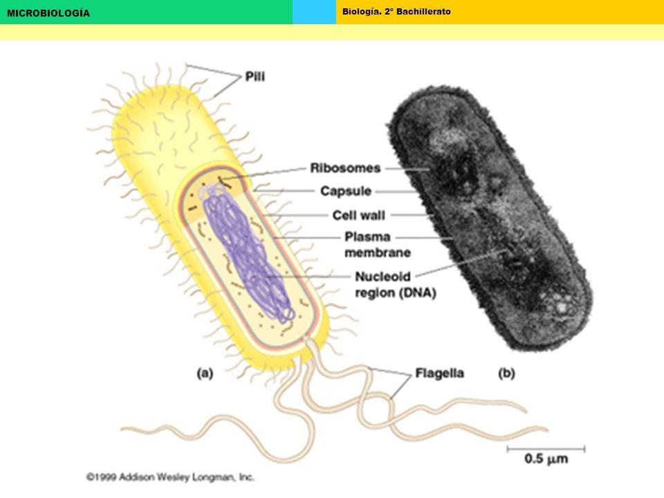 Biología. 2º Bachillerato MICROBIOLOGÍA