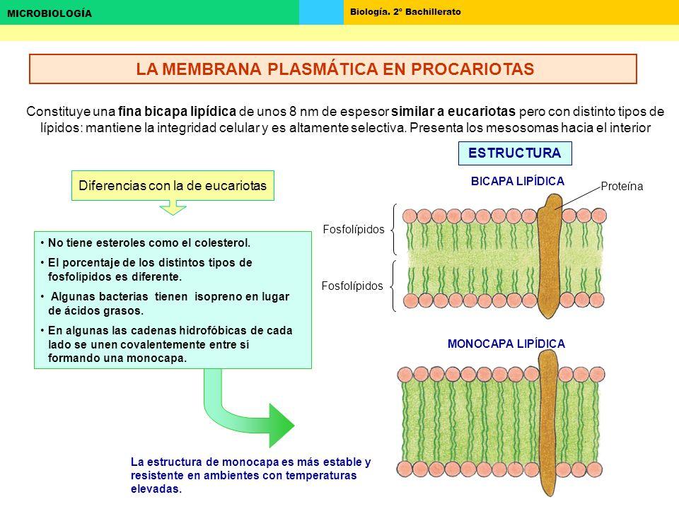 Biología. 2º Bachillerato MICROBIOLOGÍA Constituye una fina bicapa lipídica de unos 8 nm de espesor similar a eucariotas pero con distinto tipos de lí