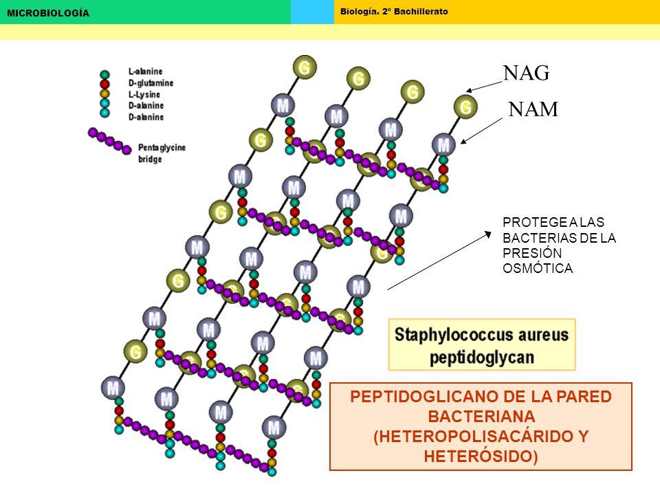 Biología. 2º Bachillerato MICROBIOLOGÍA PROTEGE A LAS BACTERIAS DE LA PRESIÓN OSMÓTICA NAM NAG PEPTIDOGLICANO DE LA PARED BACTERIANA (HETEROPOLISACÁRI