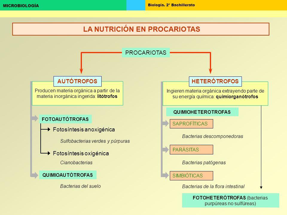 Biología. 2º Bachillerato MICROBIOLOGÍA Producen materia orgánica a partir de la materia inorgánica ingerida: litótrofos Ingieren materia orgánica ext