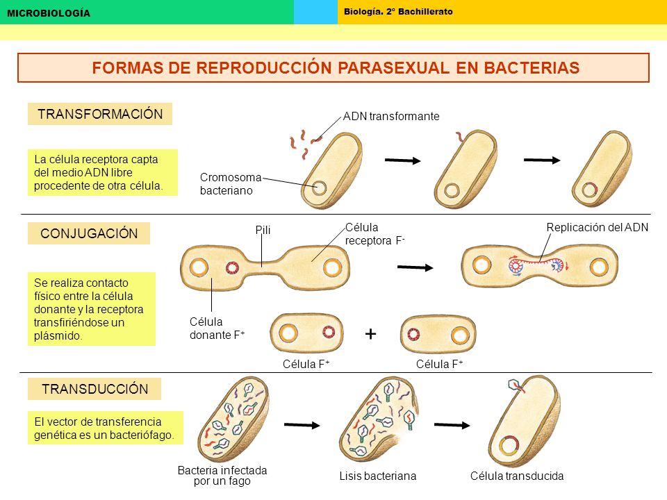 Biología. 2º Bachillerato MICROBIOLOGÍA + TRANSFORMACIÓN CONJUGACIÓN TRANSDUCCIÓN ADN transformante Cromosoma bacteriano La célula receptora capta del