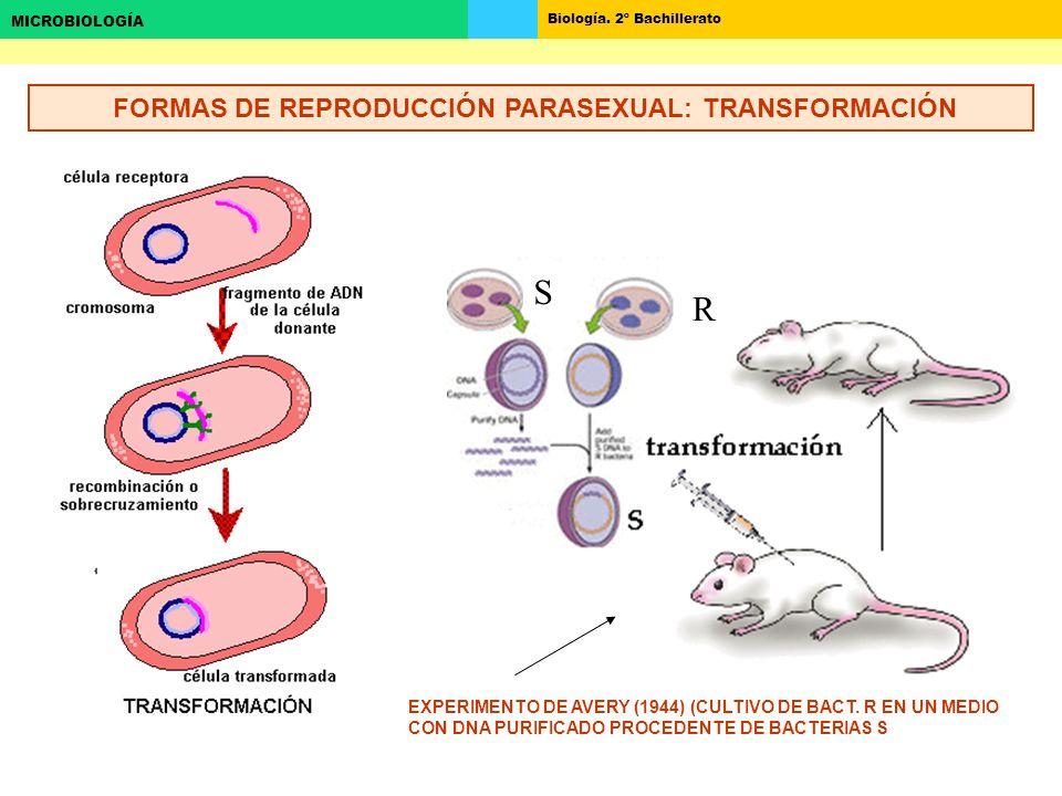 Biología. 2º Bachillerato MICROBIOLOGÍA FORMAS DE REPRODUCCIÓN PARASEXUAL: TRANSFORMACIÓN EXPERIMENTO DE AVERY (1944) (CULTIVO DE BACT. R EN UN MEDIO