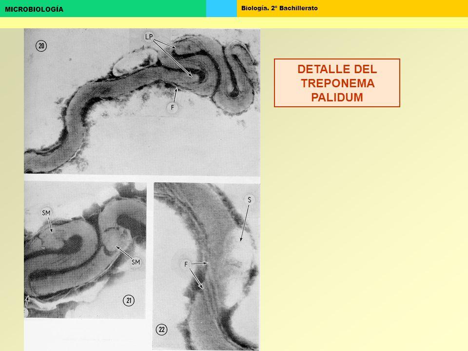 Biología. 2º Bachillerato MICROBIOLOGÍA DETALLE DEL TREPONEMA PALIDUM