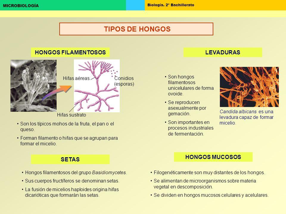 Biología. 2º Bachillerato MICROBIOLOGÍA HONGOS FILAMENTOSOS SETAS LEVADURAS HONGOS MUCOSOS Conidios (esporas) Hifas sustrato Hifas aéreas Son hongos f