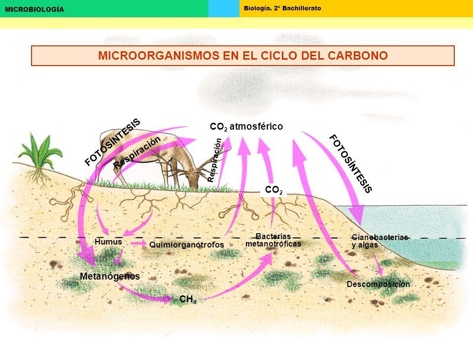 Biología. 2º Bachillerato MICROBIOLOGÍA CH 4 CO 2 atmosférico Metanógenos Humus Cianobacterias y algas Descomposición CO 2 Quimiorganótrofos Bacterias