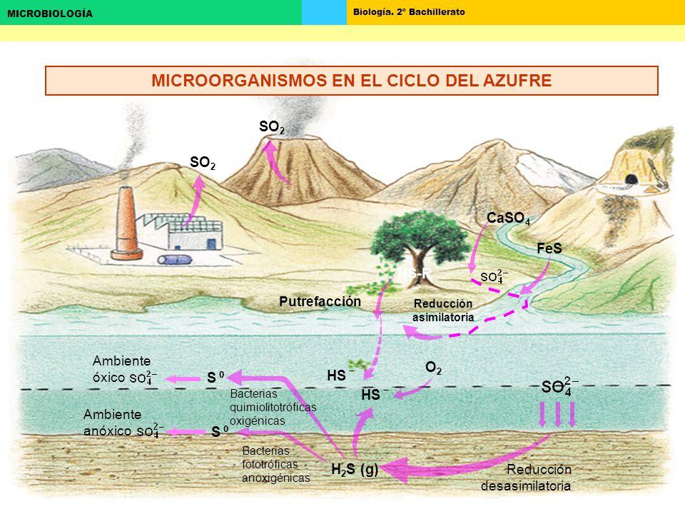 Biología. 2º Bachillerato MICROBIOLOGÍA SO 2 Putrefacción HS-R CaSO 4 FeS O2O2 H 2 S (g) HS S Reducción desasimilatoria Ambiente óxico Ambiente anóxic