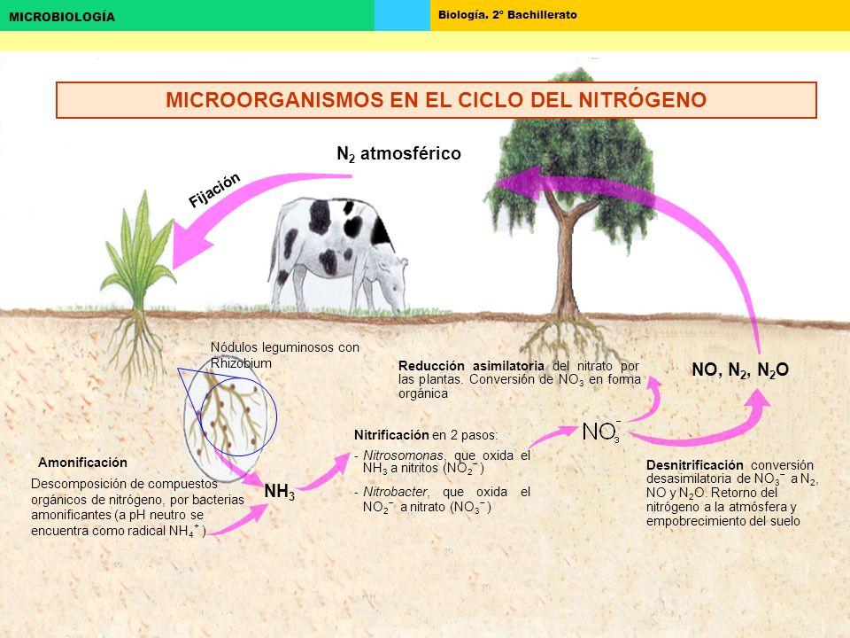 Biología. 2º Bachillerato MICROBIOLOGÍA Nitrificación en 2 pasos: -Nitrosomonas, que oxida el NH 3 a nitritos (NO 2 ) -Nitrobacter, que oxida el NO 2
