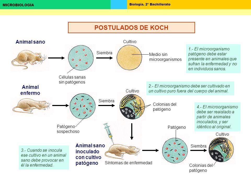Biología. 2º Bachillerato MICROBIOLOGÍA Animal sano Animal enfermo Siembra Cultivo Medio sin microorganismos Colonias del patógeno Patógeno sospechoso