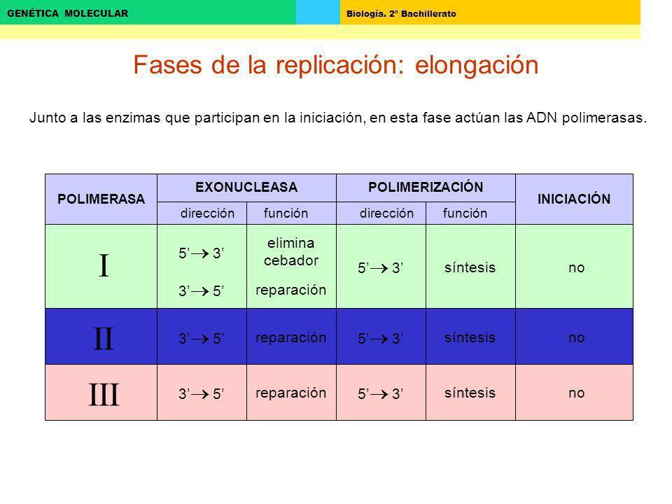 Biología. 2º Bachillerato GENÉTICA MOLECULAR Fases de la replicación: elongación Junto a las enzimas que participan en la iniciación, en esta fase act