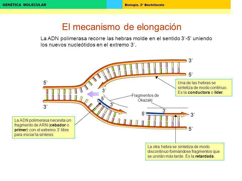 Biología. 2º Bachillerato GENÉTICA MOLECULAR 3 5 5 3 3 5 El mecanismo de elongación 5 3 3 5 3 La ADN polimerasa necesita un fragmento de ARN (cebador