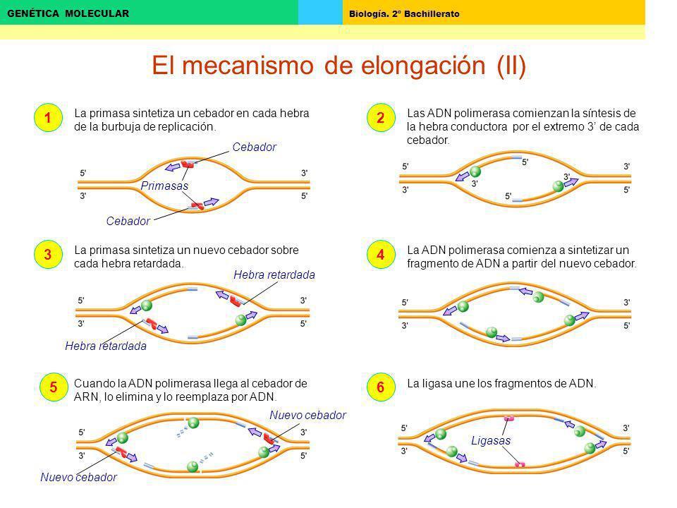 Biología. 2º Bachillerato GENÉTICA MOLECULAR El mecanismo de elongación (II) 123456 La primasa sintetiza un cebador en cada hebra de la burbuja de rep