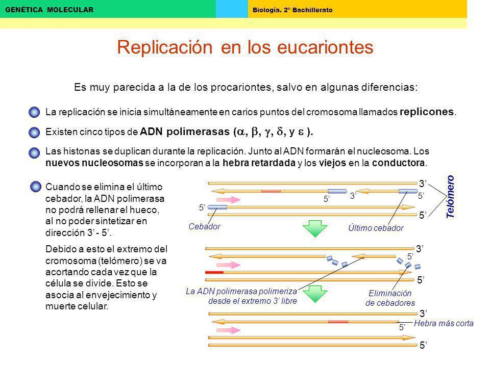 Biología. 2º Bachillerato GENÉTICA MOLECULAR 5 3 5 3 Replicación en los eucariontes Es muy parecida a la de los procariontes, salvo en algunas diferen