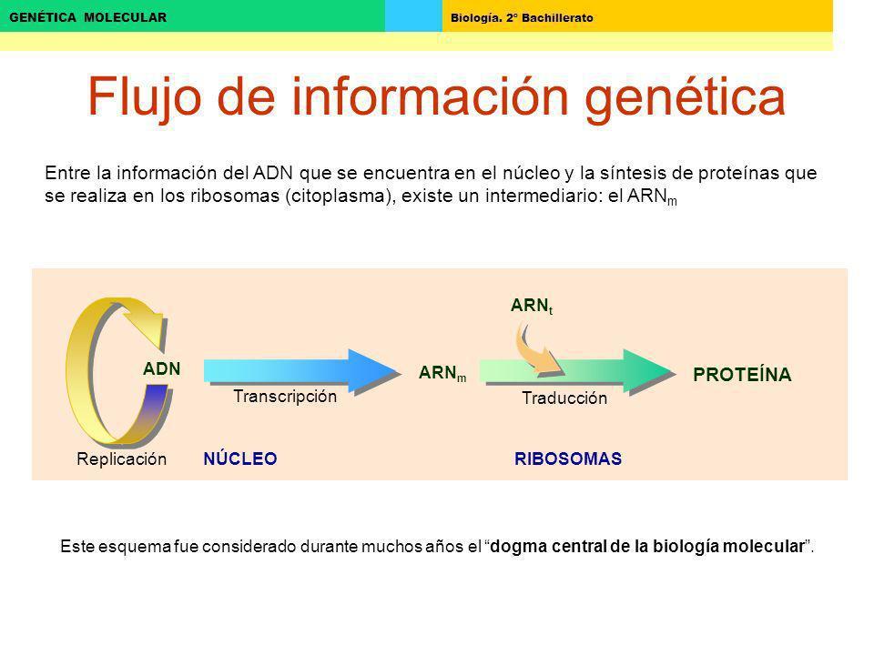 Biología. 2º Bachillerato GENÉTICA MOLECULAR Flujo de información genética ADN ARN m Transcripción Traducción ARN t PROTEÍNA Entre la información del