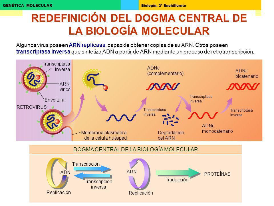Biología. 2º Bachillerato GENÉTICA MOLECULAR REDEFINICIÓN DEL DOGMA CENTRAL DE LA BIOLOGÍA MOLECULAR ARN ADN Traducción Transcripción Transcripción in