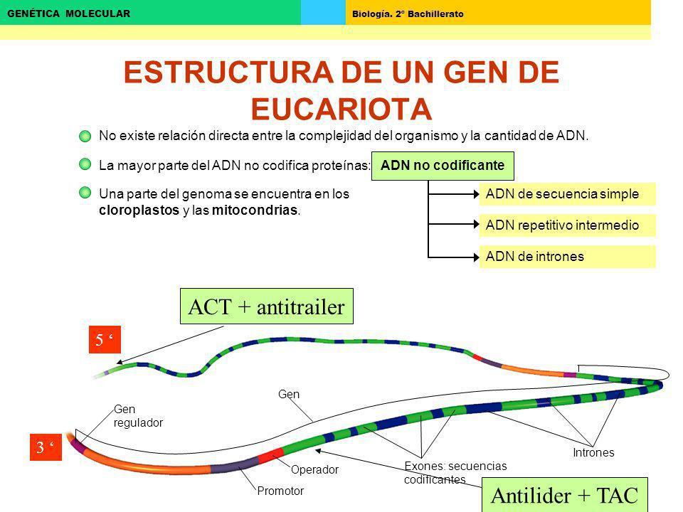 Biología. 2º Bachillerato GENÉTICA MOLECULAR ADN de secuencia simple ESTRUCTURA DE UN GEN DE EUCARIOTA No existe relación directa entre la complejidad