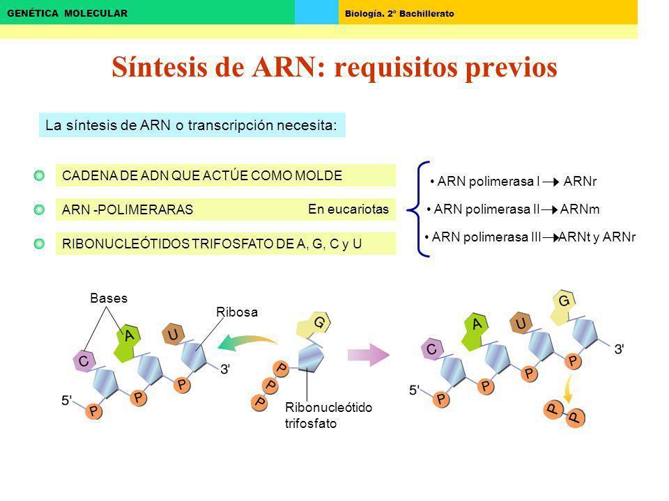 Biología. 2º Bachillerato GENÉTICA MOLECULAR Síntesis de ARN: requisitos previos La síntesis de ARN o transcripción necesita: CADENA DE ADN QUE ACTÚE