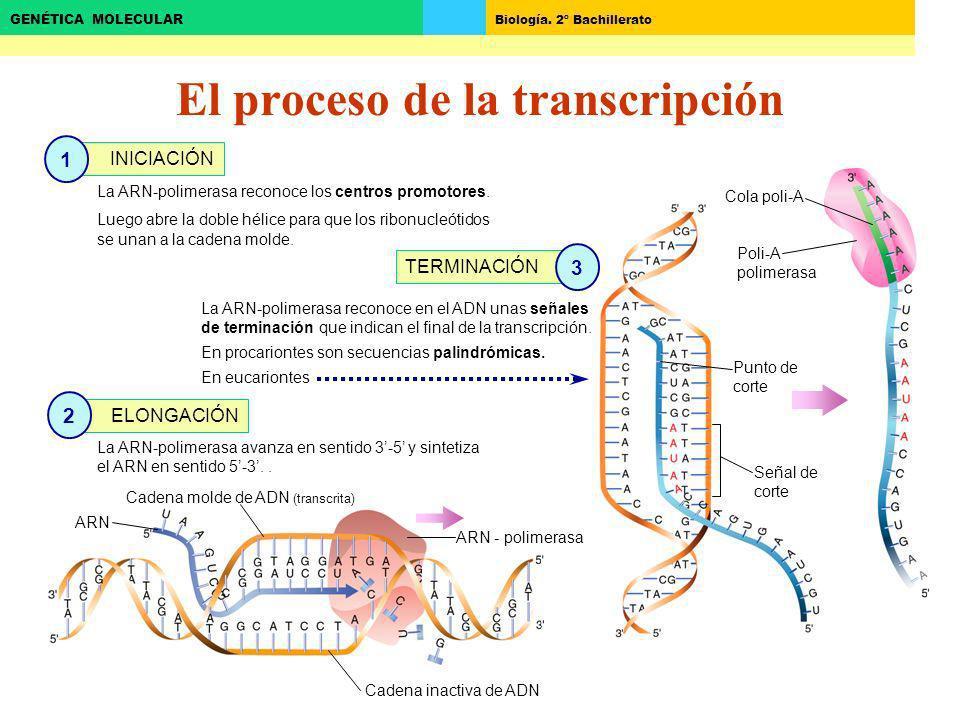 Biología. 2º Bachillerato GENÉTICA MOLECULAR El proceso de la transcripción Cadena inactiva de ADN ARN - polimerasa Cadena molde de ADN (transcrita) A