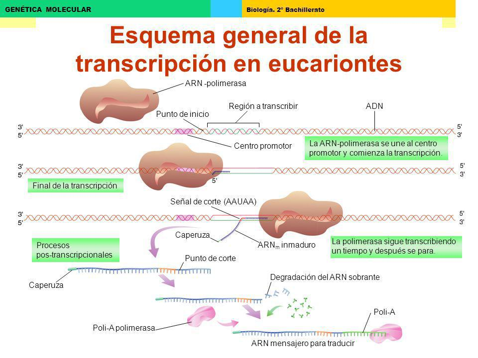 Biología. 2º Bachillerato GENÉTICA MOLECULAR Esquema general de la transcripción en eucariontes ARN -polimerasa Región a transcribir Punto de inicio A