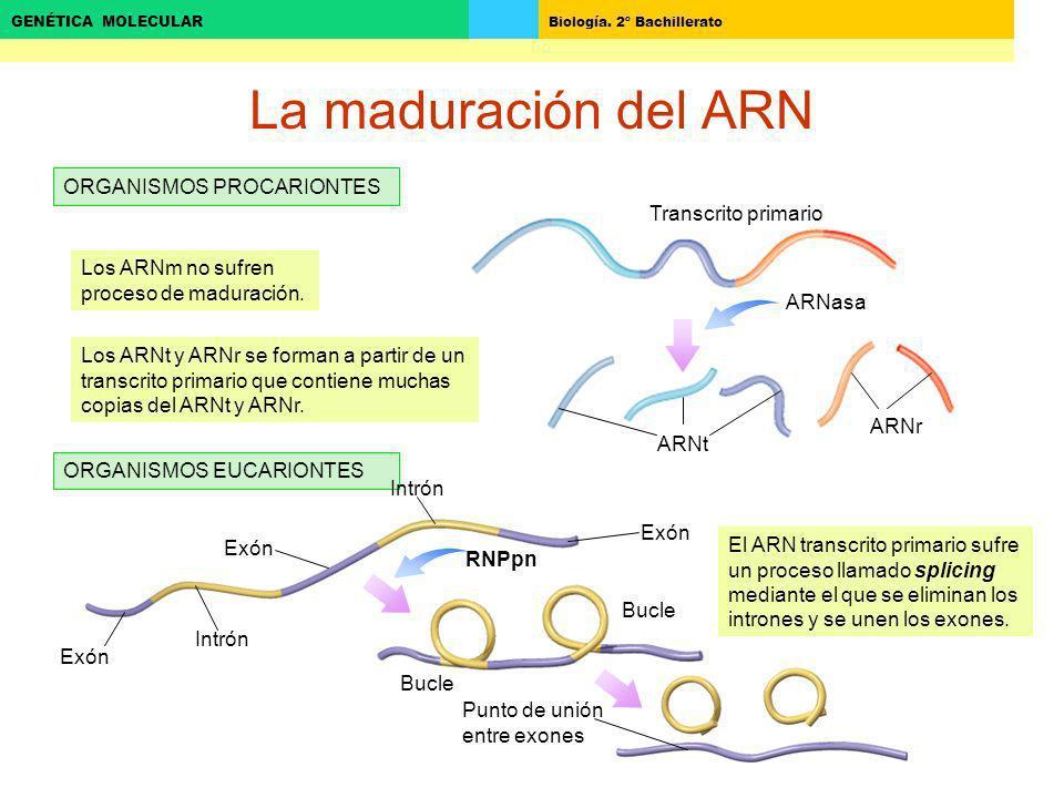 Biología. 2º Bachillerato GENÉTICA MOLECULAR La maduración del ARN ORGANISMOS PROCARIONTES ORGANISMOS EUCARIONTES Transcrito primario ARNasa ARNtARNr
