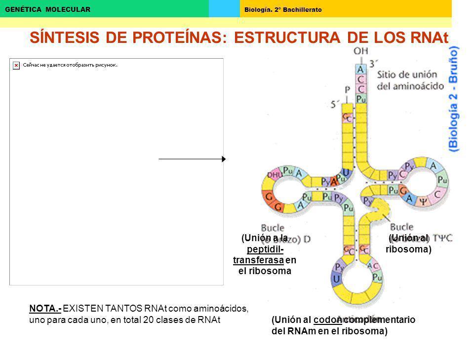 Biología. 2º Bachillerato GENÉTICA MOLECULAR (Unión a la peptidil- transferasa en el ribosoma (Unión al ribosoma) (Unión al codon complementario del R