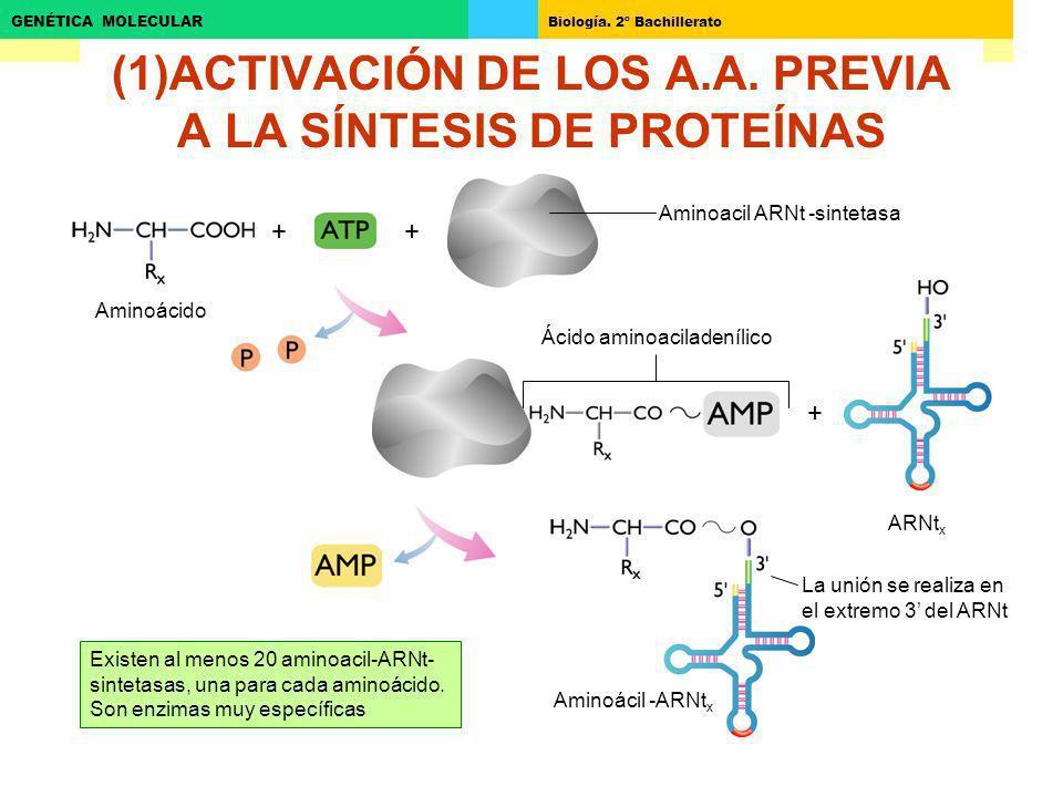 Biología. 2º Bachillerato GENÉTICA MOLECULAR (1)ACTIVACIÓN DE LOS A.A. PREVIA A LA SÍNTESIS DE PROTEÍNAS ++ + Aminoacil ARNt -sintetasa Aminoácido Áci