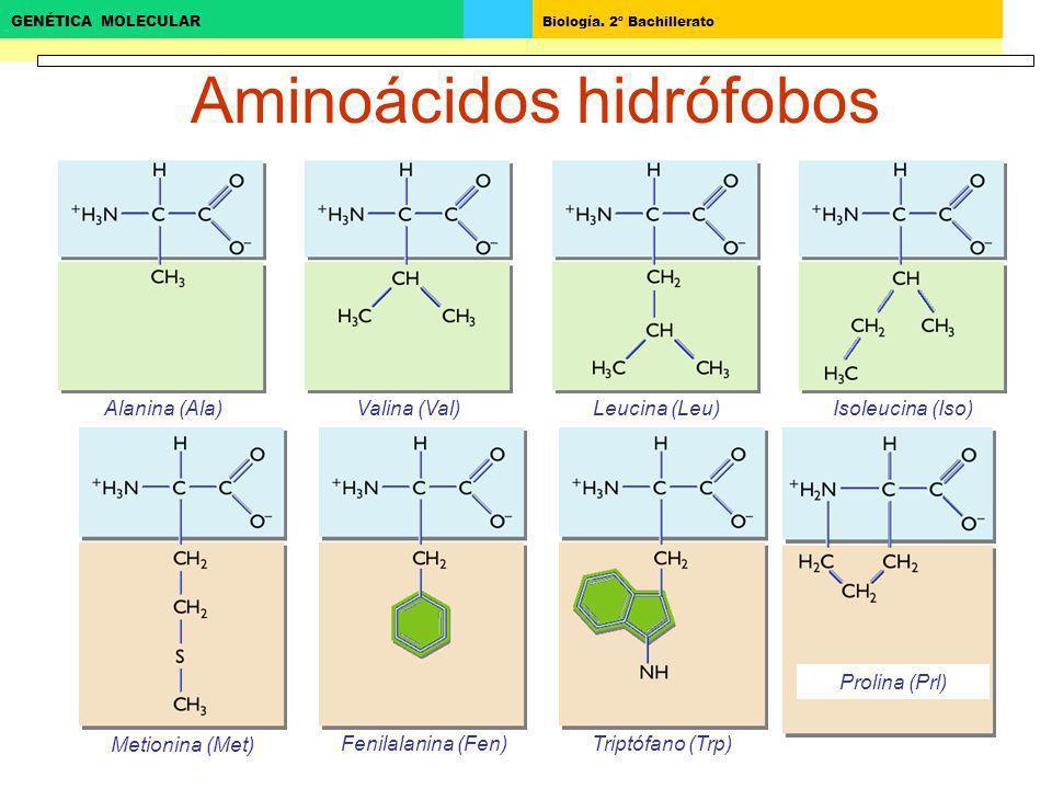 Biología. 2º Bachillerato GENÉTICA MOLECULAR Aminoácidos hidrófobos Alanina (Ala)Valina (Val)Leucina (Leu)Isoleucina (Iso) Metionina (Met) Fenilalanin