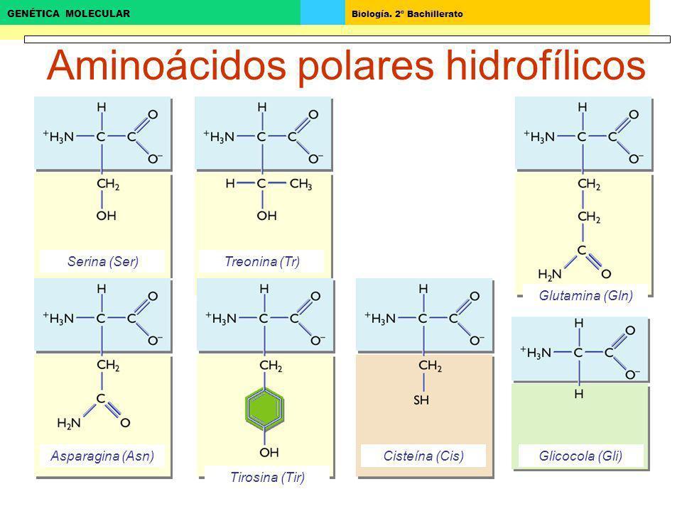 Biología. 2º Bachillerato GENÉTICA MOLECULAR Serina (Ser) Aminoácidos polares hidrofílicos Glicocola (Gli) Glutamina (Gln) Treonina (Tr) Asparagina (A