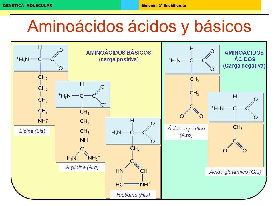 Biología. 2º Bachillerato GENÉTICA MOLECULAR AMINOÁCIDOS ÁCIDOS (Carga negativa) Aminoácidos ácidos y básicos AMINOÁCIDOS BÁSICOS (carga positiva) Lis