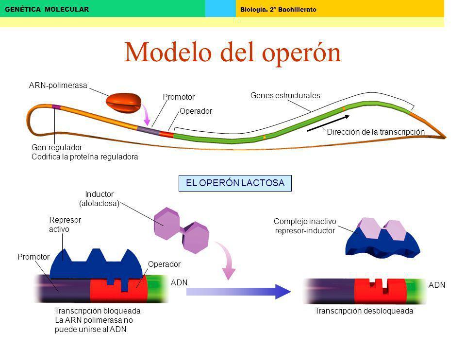 Biología. 2º Bachillerato GENÉTICA MOLECULAR Modelo del operón Dirección de la transcripción Genes estructurales Operador Promotor Gen regulador Codif