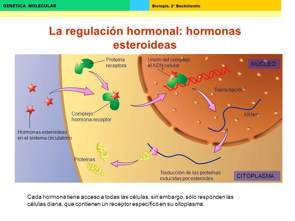 Biología. 2º Bachillerato GENÉTICA MOLECULAR La regulación hormonal: hormonas esteroideas Traducción de las proteínas inducidas por esteroides Transcr