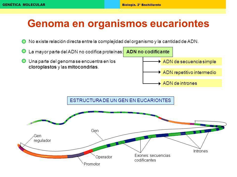 Biología. 2º Bachillerato GENÉTICA MOLECULAR ADN de secuencia simple Genoma en organismos eucariontes No existe relación directa entre la complejidad