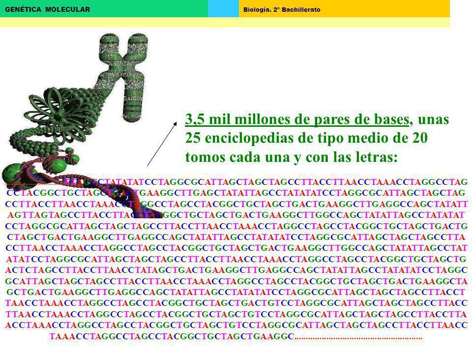 Biología. 2º Bachillerato GENÉTICA MOLECULAR 3,5 mil millones de pares de bases, unas 25 enciclopedias de tipo medio de 20 tomos cada una y con las le