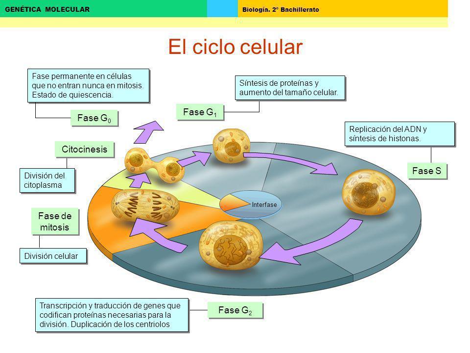 Biología. 2º Bachillerato GENÉTICA MOLECULAR El ciclo celular Fase G 0 Fase G 1 Fase permanente en células que no entran nunca en mitosis. Estado de q