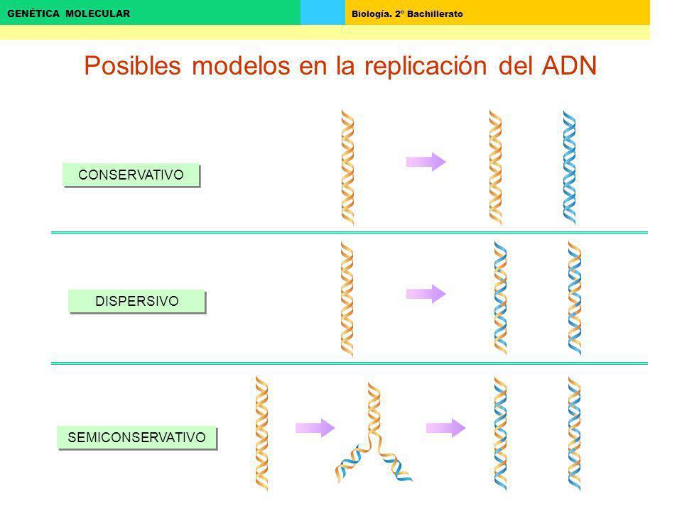 Biología. 2º Bachillerato GENÉTICA MOLECULAR Posibles modelos en la replicación del ADN CONSERVATIVO DISPERSIVO SEMICONSERVATIVO